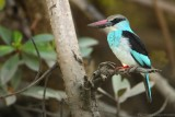 Teugelijsvogel - Halcyon malimbica - Blue-breasted Kingfisher