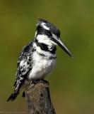 Bonte IJsvogel - Pied Kingfisher