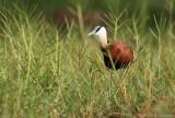 Lelieloper - African Jacana