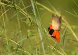 Oranje Wever - Northern Red Bishop