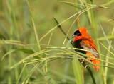 Oranje Wever - Euplectes franciscanus -  Northern Red Bishop