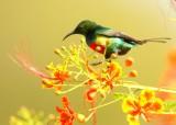 Feeënhoningzuiger - Beautiful Sunbird