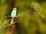 Sahel Scharrelaar - Coracias abyssinica - Abyssinian Roller