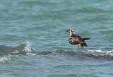 Visarend - Pandion haliaetus - Western Osprey