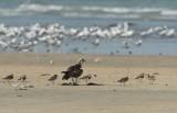 Visarend - Western Osprey