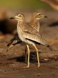 Senegalese Griel - Burhinus senegalensis - Senegal Thick-knee