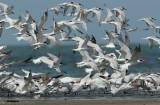 Lesser Crested Tern - Caspian Tern