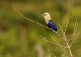 Blauwbuikscharrelaar - Blue-bellied Roller
