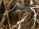 Mangrovereiger    -    Striated Heron