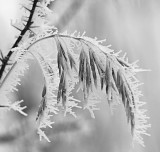 Frosted grass2_BW.jpg