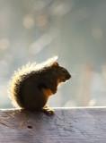 Sunlit Squirrel.jpg