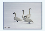 Swans Rear Guard.jpg