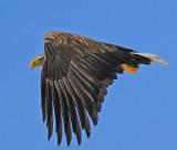 White-tail Eagle
