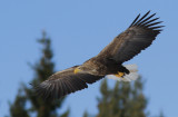White.tailed Eagle