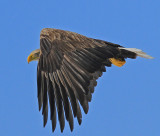 White-tail Eagle