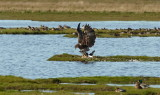 White tailed Eagle / Havørn, CR6F012014-10-2011.jpg