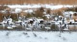 Black-headed Gull / Hættemåge, CR6F364523-01-2013.jpg