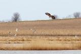 White-tailed Eagle / Havørn, CR6F614125-04-2013.jpg