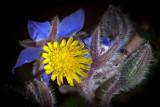 Borretsch mit Blüte