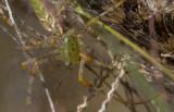 green lynz spider.jpg