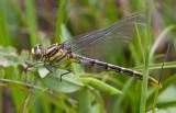 female sulphur-tipped clubtail.JPG
