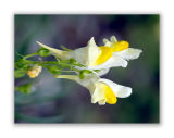 1757 Linaria vulgaris