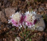 Chaenactis fremontii - Desert Pincushion