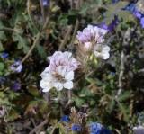 Wildflowers along Camino Rio Road
