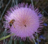 Honey bee and friend on Thistle flower. Tonto National Forest - FR 4