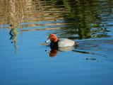 Redhead Duck at Ayer Lake