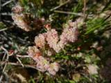 Aberts Buckwheat
