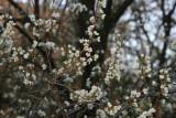 Plum Tree Flowering