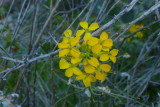 Western Wallflower on the High Trail