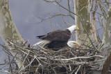 BALD EAGLES at HIGGINSPORT OHIO, 3-12-2013