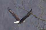 BALD EAGLE at HIGGINSPORT OHIO, 3-12-2013