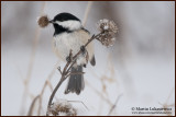 Chickadee With Lunch