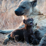 Milky way for a baby Hyena