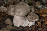 Nevelzwam - Clitocybe nebularis