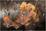 oranje Aderzwam - Phlebia radiata
