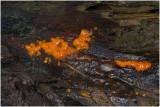 Oranje druppelzwam - Dacrymyces stillatus