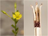 kleine Teunisbloem - Oenothera parviflora