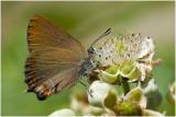 kleine Sleedoornpage - Satyrium acaciae