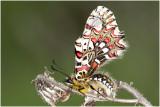Spaanse Pijpbloemvlinder - Zerynthia rumina