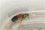 Loopkeversoort - Anchomenus dorsalis