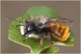 rosse Metselbij - Osmia bicornis - man