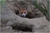 GALLERY Vos - Vulpes vulpes - red Fox