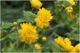 Ranonkelstruik - Kerria japonica