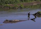 Tarcoles river crocodiles II.jpg
