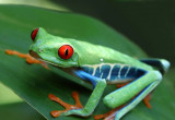 Red-eyed Tree Frog V copy.jpg