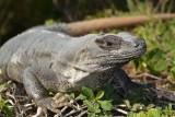 Cancun 2012-Iguana